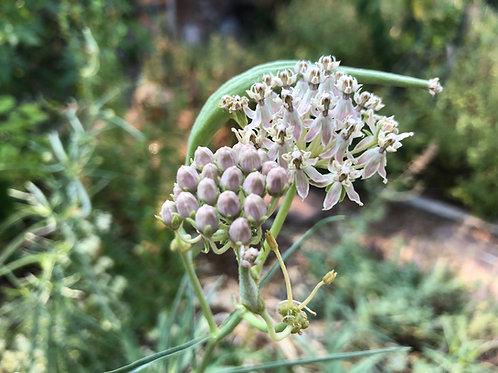 Asclepias fascicularis, California Narrowleaf Milkweed Starter Plant
