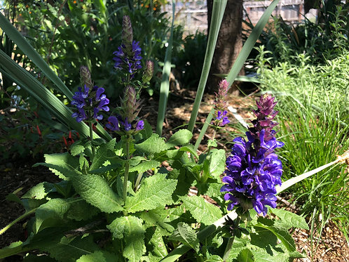 Salvia nemorosa 'Blue Marvel'