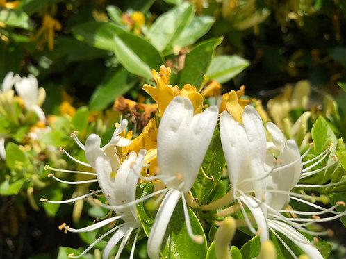Japanese Honeysuckle Lonicera japonica Starter Plant