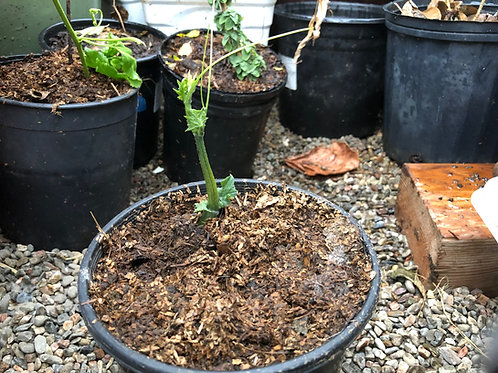 Perennial Chayote Squash Seed Starter in Gallon Pot (Large Seed)