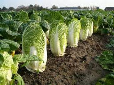 S095X01. Napa Cabbage Michili (Barrel Head Type)