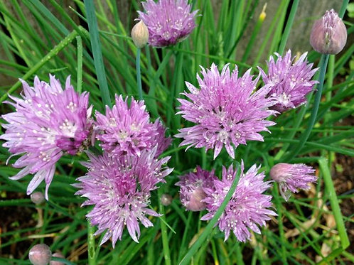 Onion Chive Starters (1 set of 5 plants)
