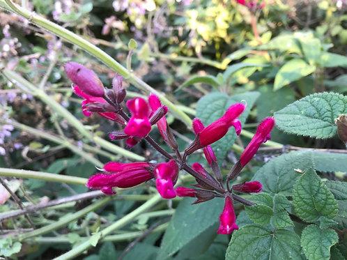Salvia pulchella involucrata Rosebud Pink Hybrid Sage