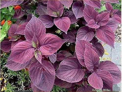 Perilla Zi Su Purple, Purple Shiso
