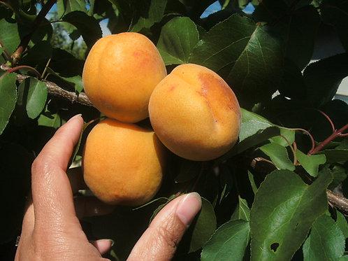 Blenheim Royal Apricot