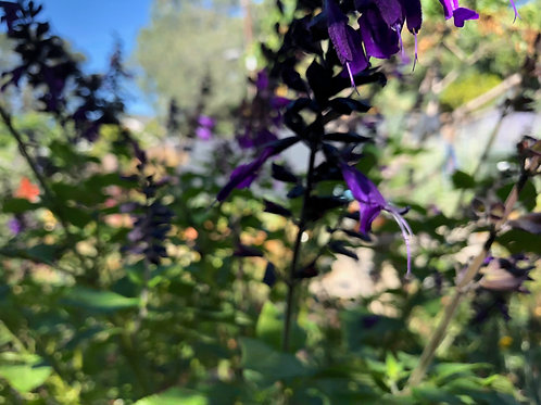 Salvia 'Amistad' Friendship Sage