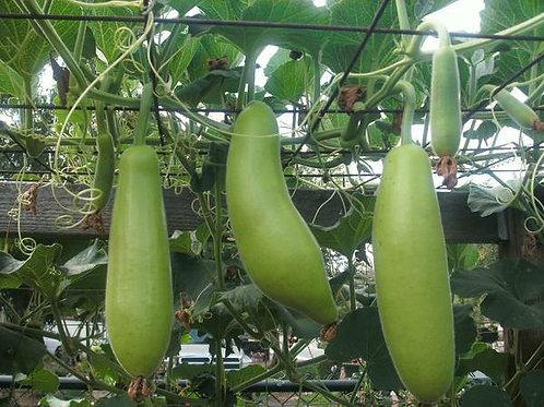 Asian Short Gourd