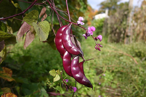 Hyacinth Bean (Red Flower)