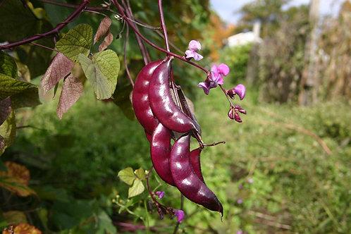 Hyacinth Bean (Red Flower)