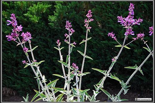 Salvia canariensis Canary Island Sage