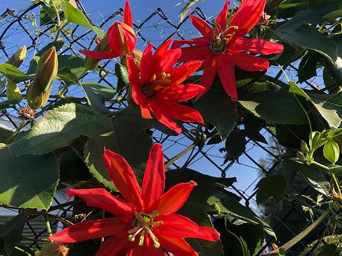 Passiflora parritae x tarminiana 'Oaklandia'Seeds - 30 Seeds