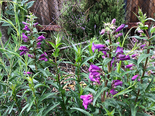 Penstemon Midnight Blue