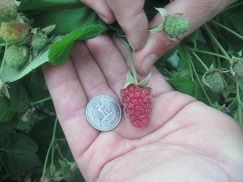 S157X01. Loganberry Seeds