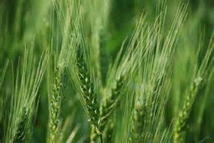 S118X01. Wheat Spring Glenn