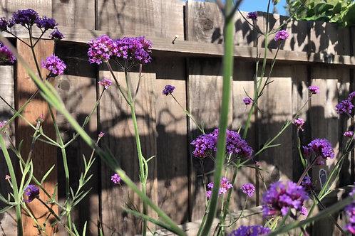 Verbena Bonariensis Purpletop