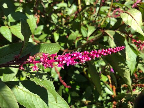 Lysimachia astropurpurea Burgundy Loosetrife Seeds