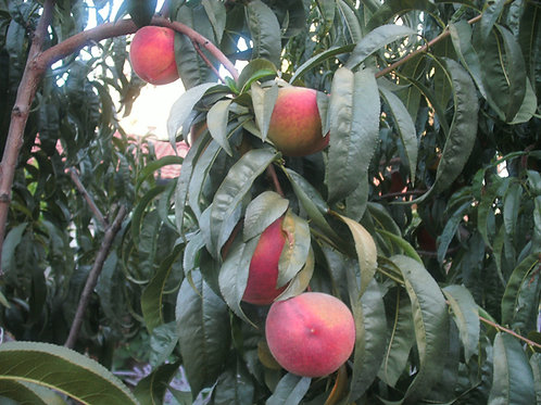 O'Henry Yellow Peach Tree