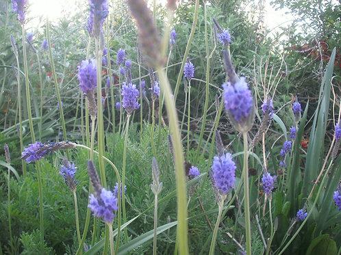 "Lavandula canariensis ""Canary Island Lavender"" Seeds"
