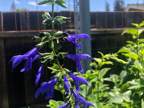 Salvia Guaranitica Black and Blue Seeds