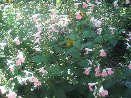 Salvia Coccinea Jewel Pink