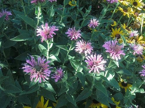 H028X01. Bee Balm (Medical Herb Wile Bergamot)