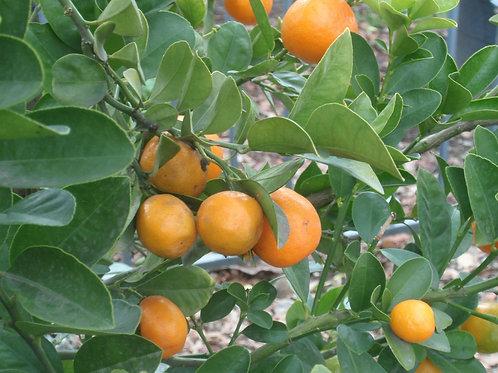 Kumquat Fortunella obovata Fukushu