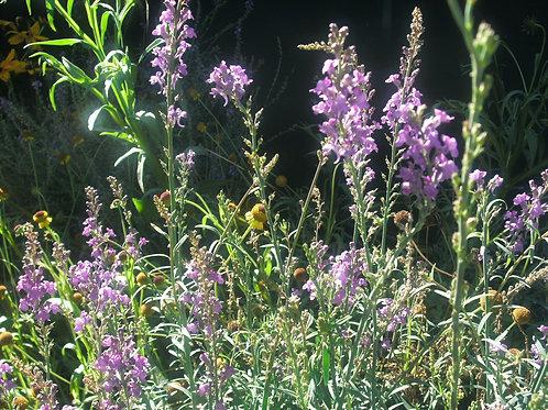 "Linaria purpurea ""Toadflax"""