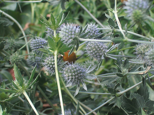 Eryngium alpinum Alpine Sea Holly