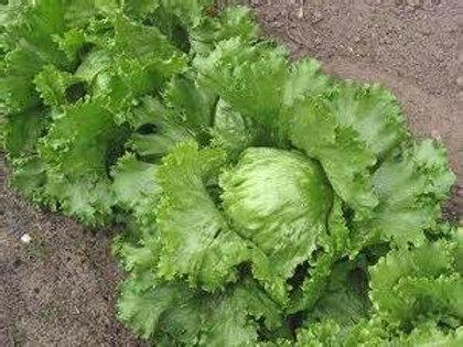 S069X01. Lettuce Crispyhead Iceberg