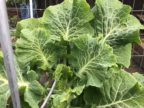 1 Rooted Perennial Carolina Yellow Cabbage Tree Collard Cutting *Rare*