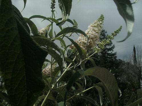 Buddleia, Butterfly Bush davidii White Profusion Plant