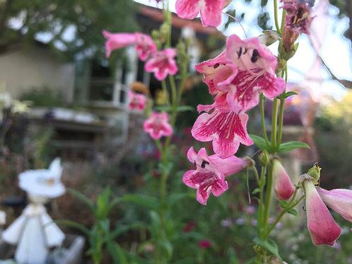 Penstemon Gloxinoldes Pink