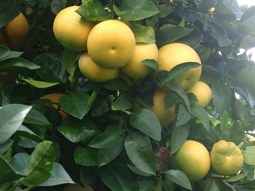 The Clayton Farm MeloGold Grapefruit (5 LB), available after January