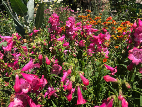 Blooming Everyday - Penstemon Cha Cha Hot Pink
