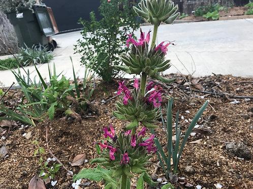 Salvia spathacea Crimson Sage, Hummingbird Sage