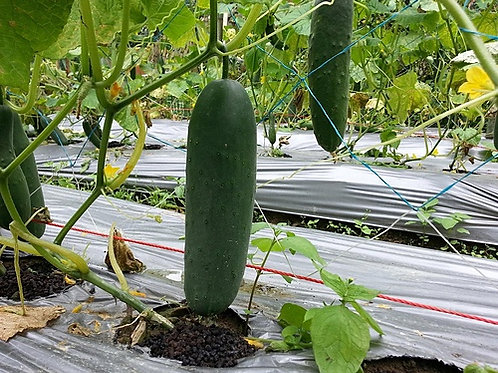 Langelang Giant Cucumber