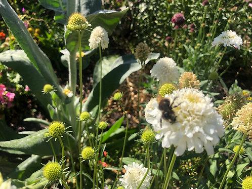 Scabiosa atropurpurea 'Snowmaiden' Seeds