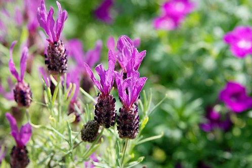 Lavender Anouk Spanish Lavender