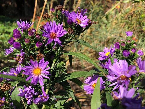 Aster Frikartii Monch Starter Plant