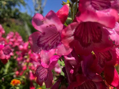 Penstemon Cha Cha Hot Pink Starter Plant