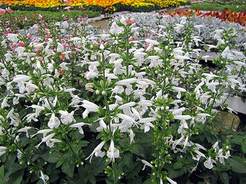 Summer Jewel White Salvia Seeds