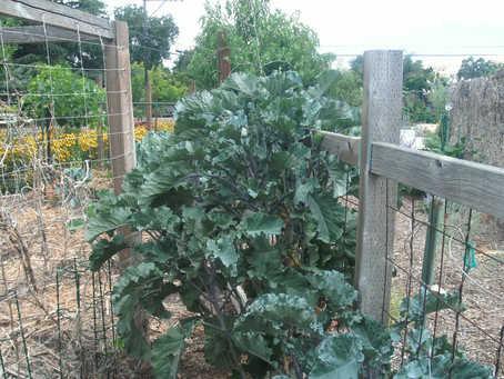 Growing Greens is like printing money - Purple Tree Collard