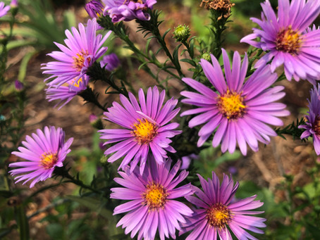 Aster, The Color Of Fall.