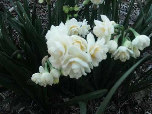 B005. Spring Bulbs - Narcissus Summer Cheer Daffodil
