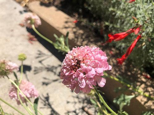 Scabiosa atropurpurea 'Florist's Pink' Seeds