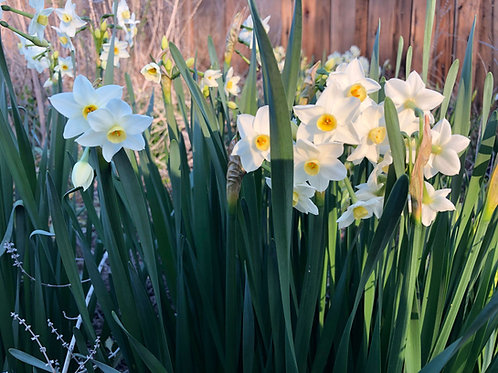 50 Spring Bulbs - Narcissus Wintersun Paperwhite