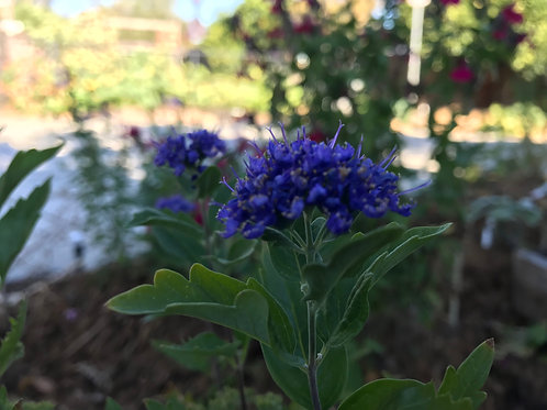 Caryopteris Blue Mist spirea First Choice