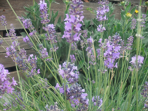 Old Fashion English Lavender Vera Plant