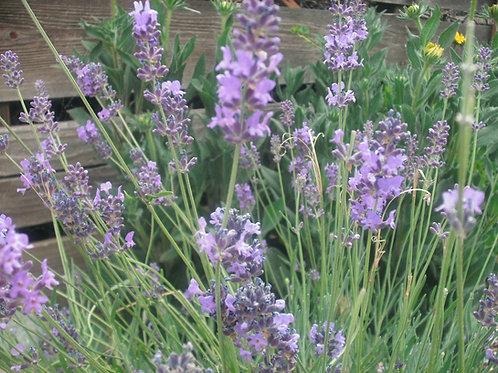 Old Fashion English Lavender Vera