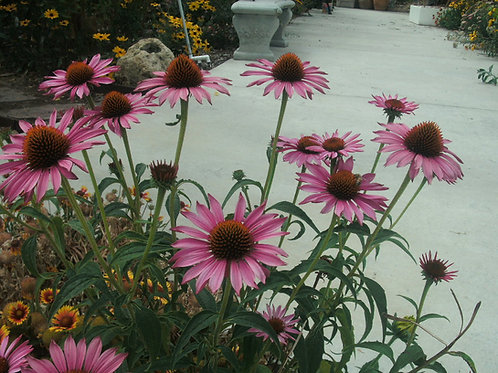 Echinacea Purle Cone Flower Starter Plant